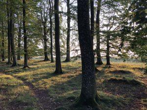 Skog i kvällsljus
